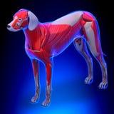 Hund mischt Anatomie - Anatomie von Manneshundemuskeln mit vektor abbildung