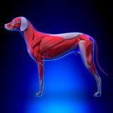 Hund mischt Anatomie - muskulöses System des Hundes mit stock abbildung
