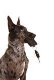 Hund mit Autotasten in seiner Mündung Lizenzfreie Stockfotografie