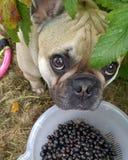 Hund mit Beeren Lizenzfreies Stockfoto