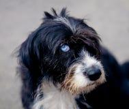 Hund mit blauem Auge stockfotografie