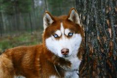 Hund mit blauen Augen Lizenzfreies Stockfoto
