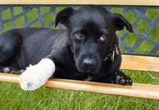 Hund mit dem gebrochenen Fahrwerkbein Lizenzfreies Stockfoto