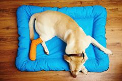 Hund mit dem gebrochenen Fahrwerkbein lizenzfreie stockbilder