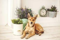 Hund mit dem hellen Haar in altmodischem verziertem Raum Stockfotos