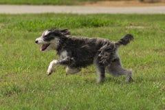 Hund mit dem rauhaarigen feuchten Pelz, der in einen Hundepark läuft Lizenzfreie Stockfotografie
