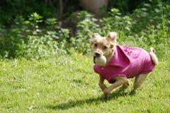 Hund mit dem rosafarbenen Hemd, das mit einer Kugel spielt Lizenzfreie Stockbilder