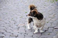 Hund mit den gekrümmten Beinen auf der Pflasterung des Quadrats Stockfotos