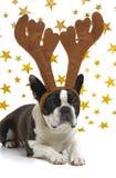 Hund mit den Geweihen am Weihnachten Stockbild