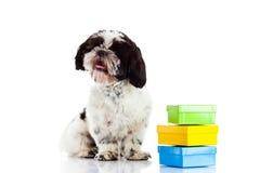 Hund mit den Kästen lokalisiert auf weißem Hintergrund, Geschenkhaustier Stockfotografie
