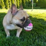 Hund mit den Zähnen Lizenzfreie Stockbilder