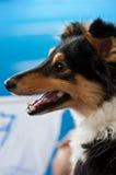 Hund mit der Zunge draußen Stockfotografie