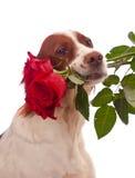 Hund mit drei roten Rosen im Mund Lizenzfreies Stockfoto