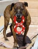 Hund mit einem Abbildung 8-Schlepperspielzeug Stockfoto