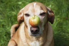 Hund mit einem Apfel auf seiner Nase Lizenzfreies Stockbild