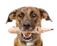Hund mit einem Bleistift Getrennt auf weißem Hintergrund Stockfotografie