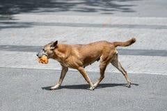 Hund mit einem großen Stück Hühnerfleisch in seinem Mund Stockbild