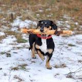 Hund mit einem großen Stock Stockfoto