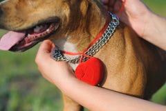 Hund mit einem Kasten für Ringe Stockbilder