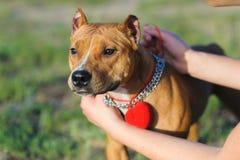 Hund mit einem Kasten für Ringe Stockfotos