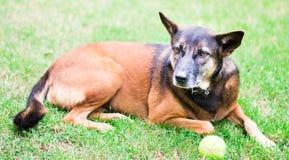 Hund mit einem Tennisball Stockbild