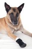Hund mit einem Verbandschutz auf der rechten Tatze Stockbilder