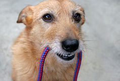 Hund mit einer Leine in ihrem Mund Stockfoto