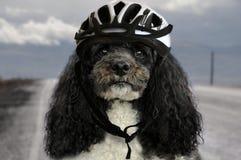 Hund mit Fahrradsturzhelm Stockfotografie