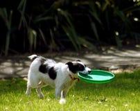Hund mit Frisbee Stockfoto