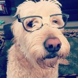 Hund mit Gläsern Stockbild