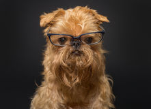 Hund mit Gläsern auf einem schwarzen Hintergrund stockfotografie