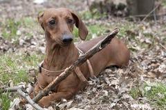 Hund mit hölzernem Stock Stockfoto