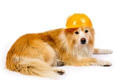 Hund mit hartem Hut des Aufbaus Stockfoto