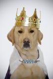 Hund mit Königkrone Lizenzfreies Stockfoto