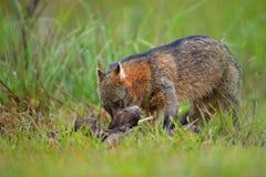 Hund mit Karkasse Krabbe-Essen des Fuchses, der Cerdocyon-Tausende, des Waldfuchses, des hölzernen Fuchses oder des Maikong Wilde stockfotos