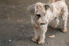 Hund mit Katarakt Stockfotografie