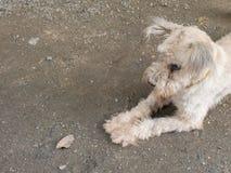 Hund mit Katarakt Stockbild