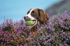 Hund mit Kugel lizenzfreies stockbild