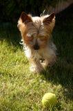 Hund mit Kugel Stockfotografie