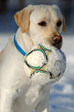 Hund mit Kugel im Schnee Stockbilder