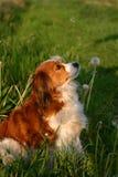 Hund mit Löwenzahn Stockfotografie