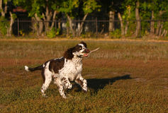 Hund mit Opfer in seinem Mund läuft in das Herbstfeld Stockfotografie