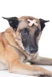 Hund mit Pflaster auf seinem Kopf Stockbilder