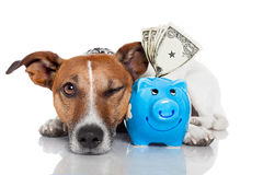 Hund mit piggy Querneigung Lizenzfreie Stockbilder