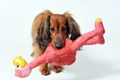 Hund mit playtoy Lizenzfreie Stockfotografie