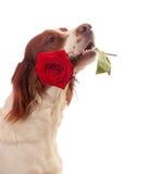 Hund mit Rot stieg in Mund Stockfoto