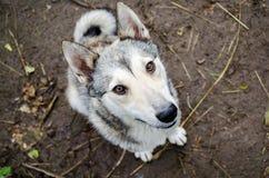 Hund mit schönen Augen Stockfotografie