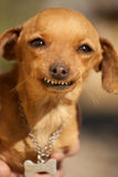 Hund mit sonderbarem Lächeln Stockfotografie