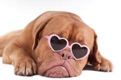 Hund mit Sonnenbrillen Lizenzfreie Stockbilder