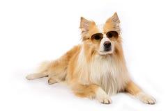 Hund mit Sonnenbrillen stockfotografie